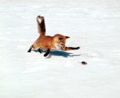 Chasing-A-Snack-Red-Fox